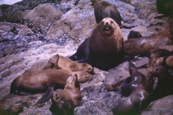 Sea Lion Photos
